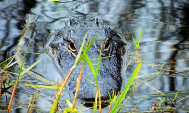 Escape Busy Orlando and Capture the Spirit of the Swamp with an Airboat Ride