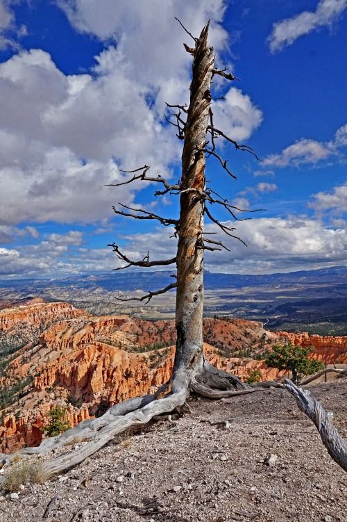 Planning a trip to Bryce Canyon. A dramatic tree on the edge on the canyon.