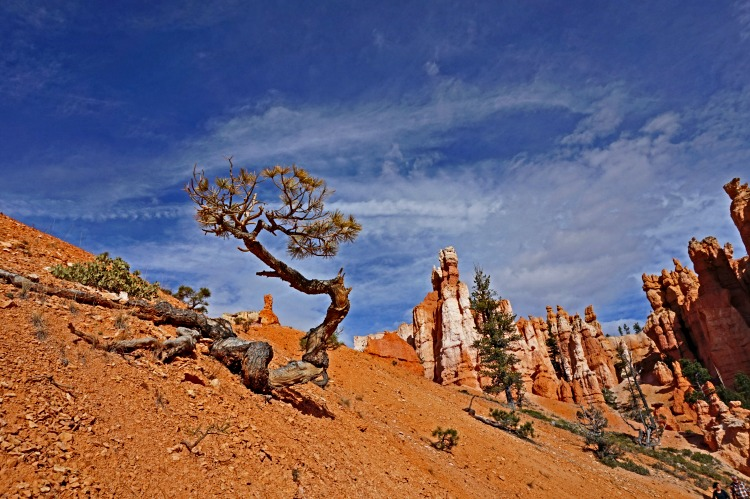 Planning a trip to Bryce Canyon. Bent tree on the hill.