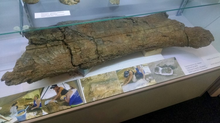 T-Rex femur from Montana. Photo Credit: Audra Rogers