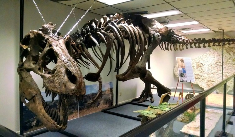 Full sized Tyrannosaurus skeleton at the Earth Experience Museum of Natural History
