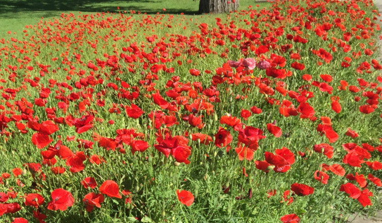 Central Texas spring's are blanket with wildflowers. Visit Georgetown, Texas, and you will find a flower you won't find anywhere else - Red Poppies. | Georgetown TX Things to Do |