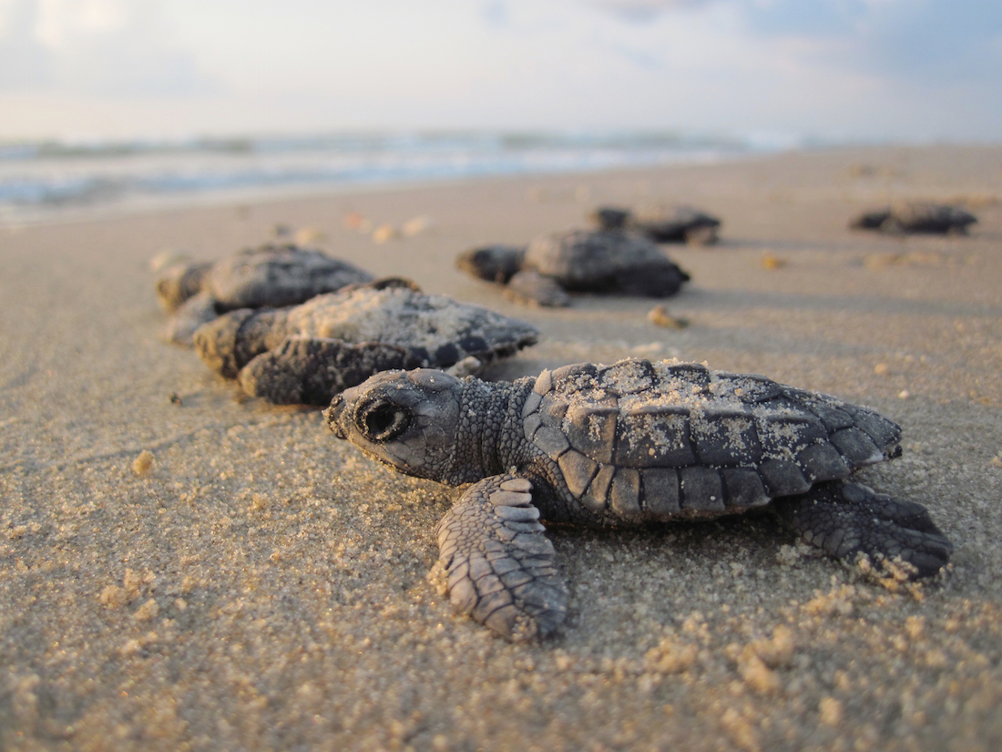Endangered sea turtles on a Texas national park beach.