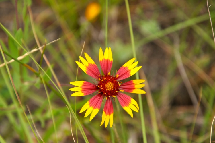 Texas Hill Country Flower