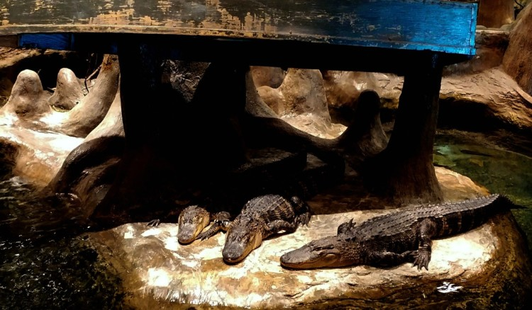 The live alligator exhibit at Bass Pro Shops offers hours of free family fun in Springfield MO.