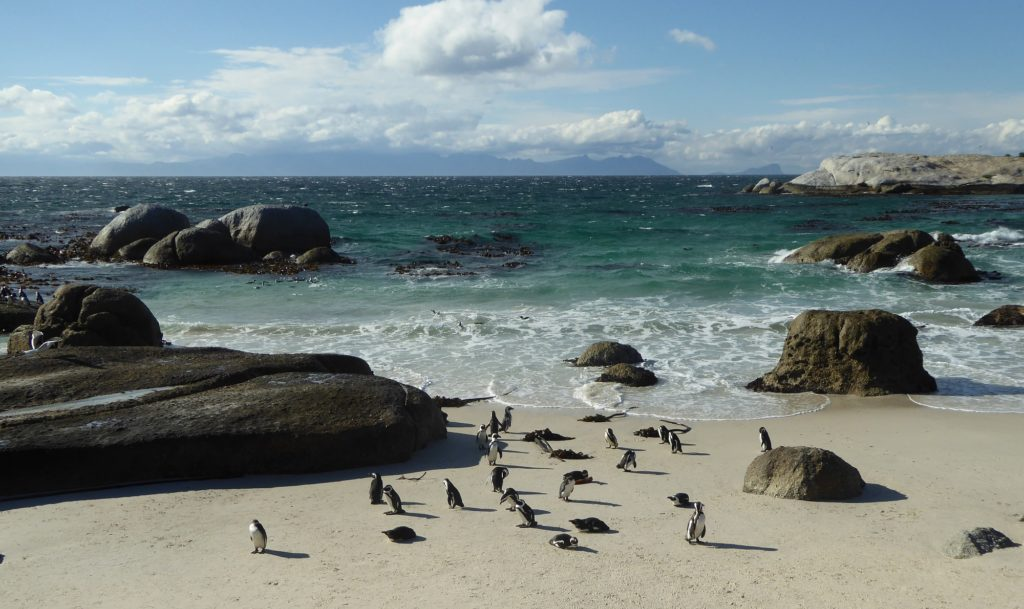 Penguins at Boulder Beach in South Africa.