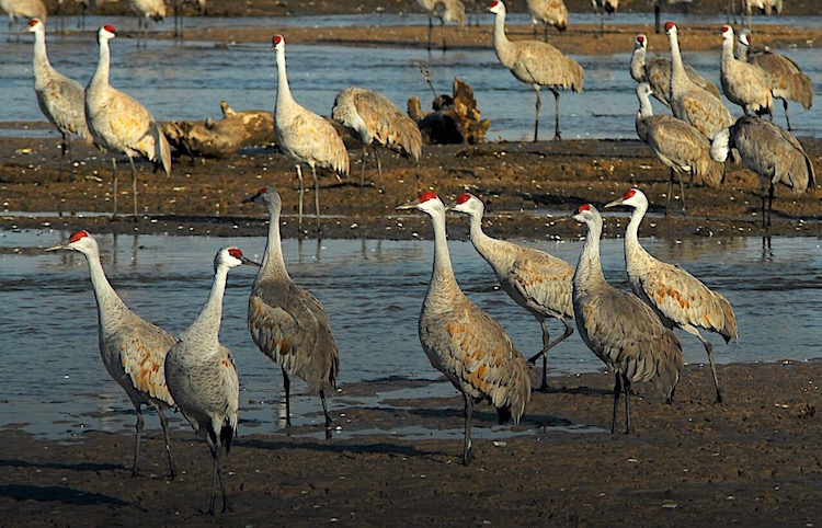 Protein-rich soups abound in Sandhill crane's favorite habitat in Nebraska.