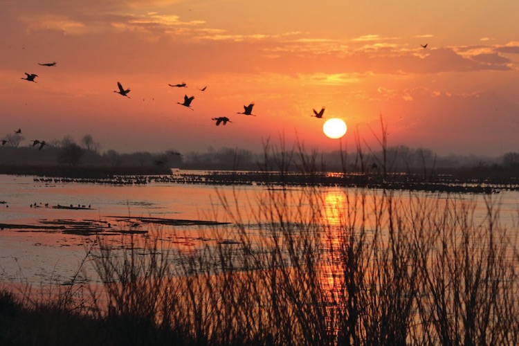 Dawn and dusk vital for viewing Sandhill cranes migration.