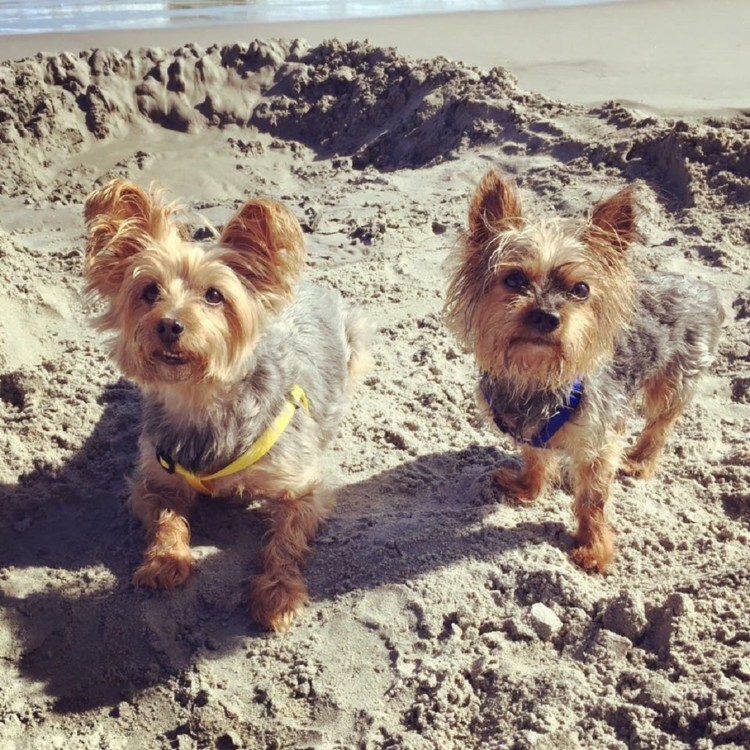 Travel options for dogs include bringing them like these two small dogs posing on the beach