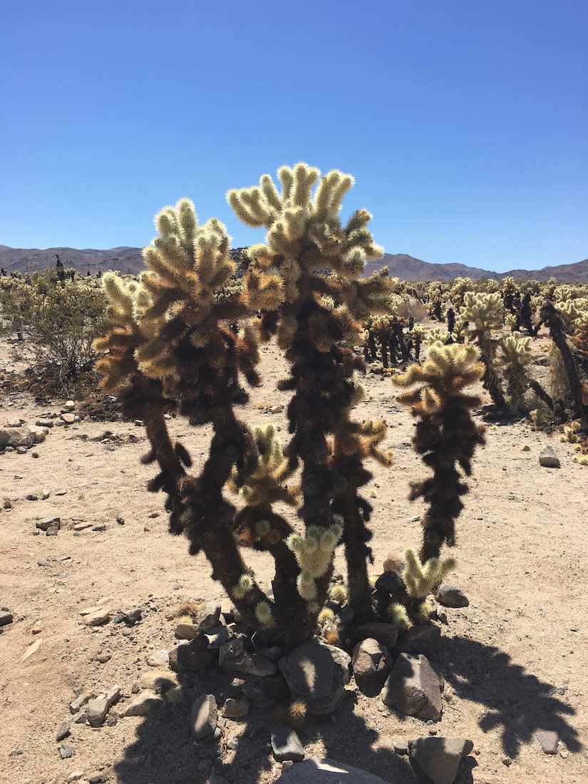 Leave the Ocotillo cactus alone in Joshua Tree National Park, Southern California.