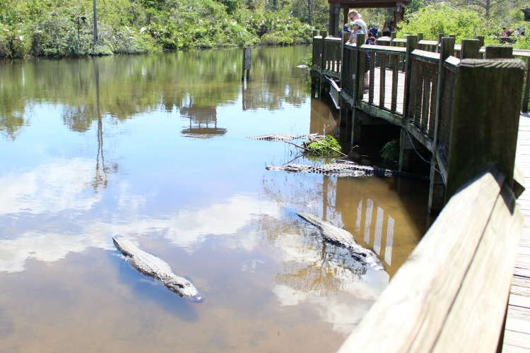 During your next Florida vacation, view alligators from close proximity in the breeding marsh