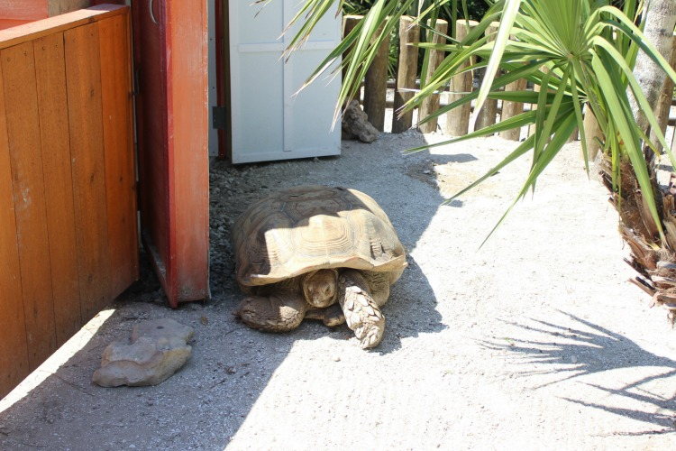 On your next Florida vacation, check out Gatorland Orlando's giant tortoise