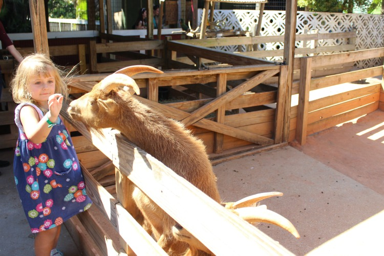 Kids can enjoy petting sheep, goats and more in the Gatorland Orlando petting zoo
