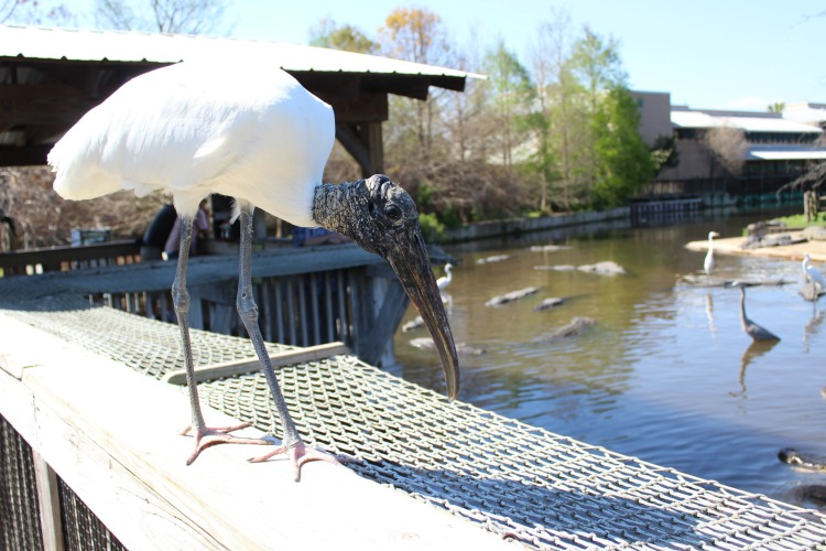 Watch out for birds that try to steal the food when you're feeding the alligators at Gatorland Orlando