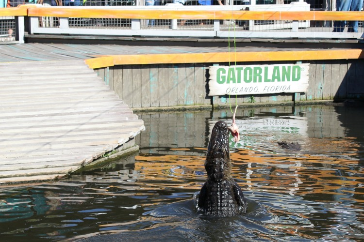 See how high the alligators can jump at the Gator Jumparoo show at Gatorland Orlando.