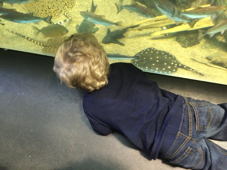 A young boy watches fish through glass at Chicago's Shedd Aquarium