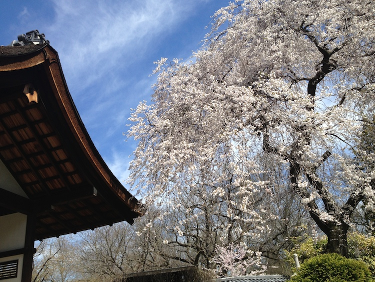 Public parks and the Japanese House are good places to see cherry blossoms in Philadelphia