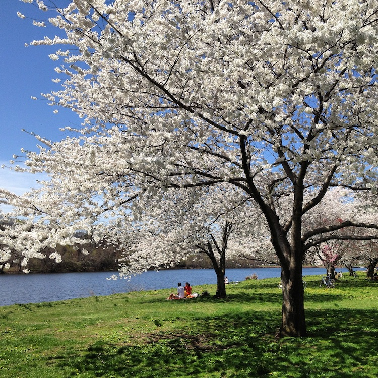 Picnicking along the cherry blossoms in Philadelphia that line the Schuylkill River