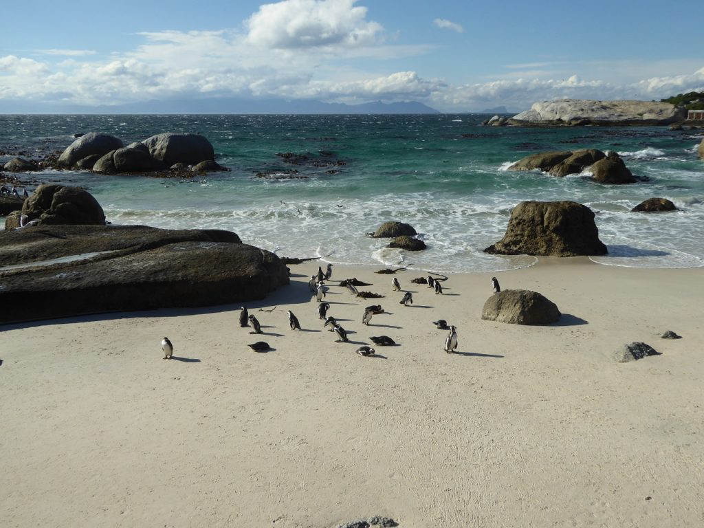 Penguins at Boulder Beach in Cape Town, South Africa.