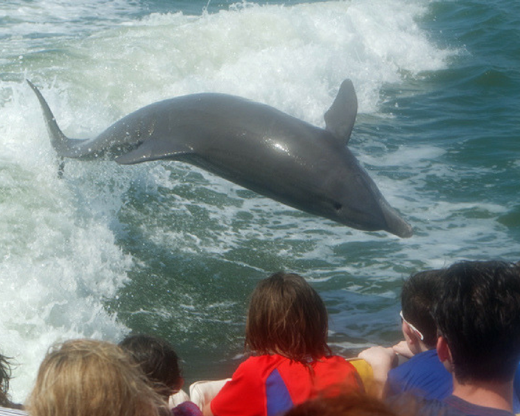 The Sanibel Thriller speed boat tour brings out friendly dolphins to play in its wake.