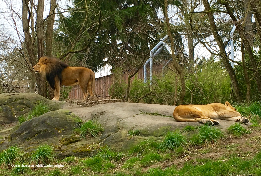 Things to Do in Seattle Woodland Park Zoo Lions
