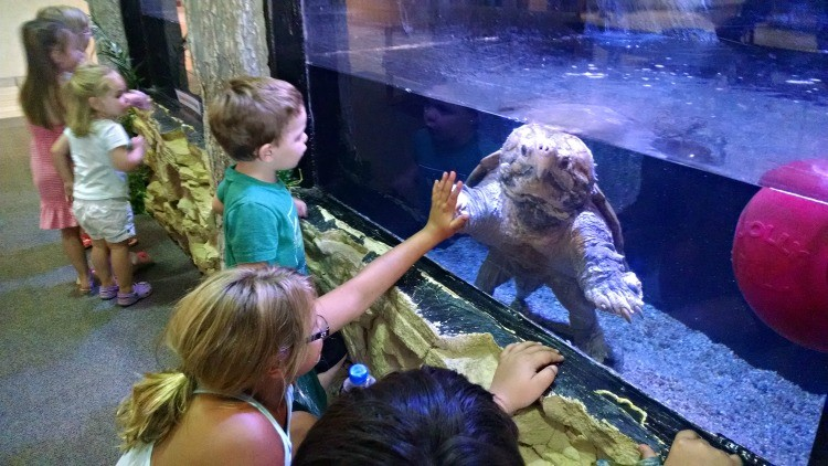 Levi is an alligator snapping turtle that is more than 100 years old at the Sternberg Museum of Natural History in Hays, Kansas. It's the perfect Kansas road trip destination!