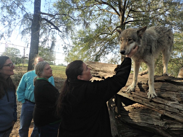 It was surreal getting to be up close and personal with gray wolves at Seacrest Wolf Preserve.