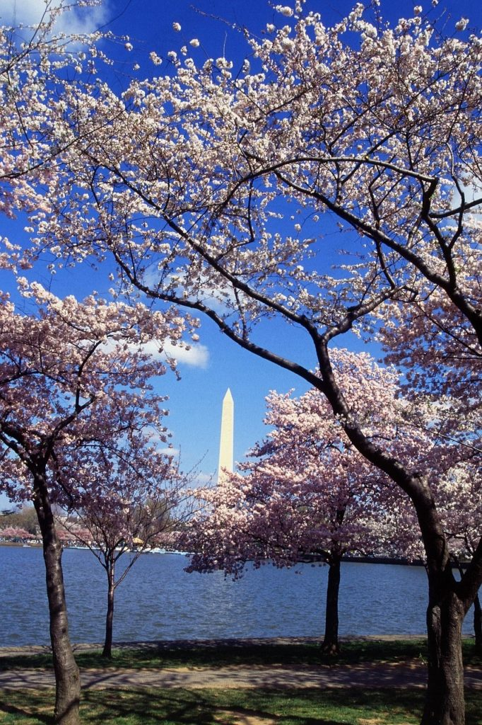 Nothing says spring as beautifully as the DC cherry blossom.