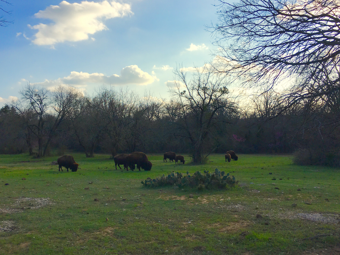 Stop by to see the bison as one of the things to do in Sulphur Oklahoma.