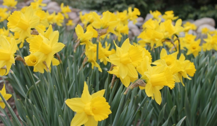 Daffodils at the Heritage Museums and Gardens in Sandwich, MA, a great Cape Cod attraction.