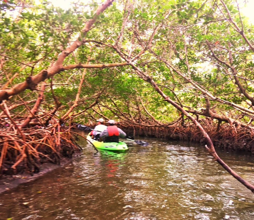 Kayaking through a mangrove tunnel in southwest Florida.