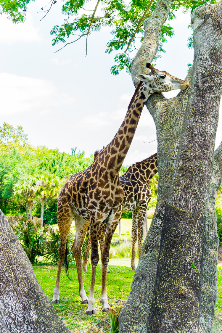 Seeing giraffes up close is one of the reasons safaris are one of the best rides at DIsney World