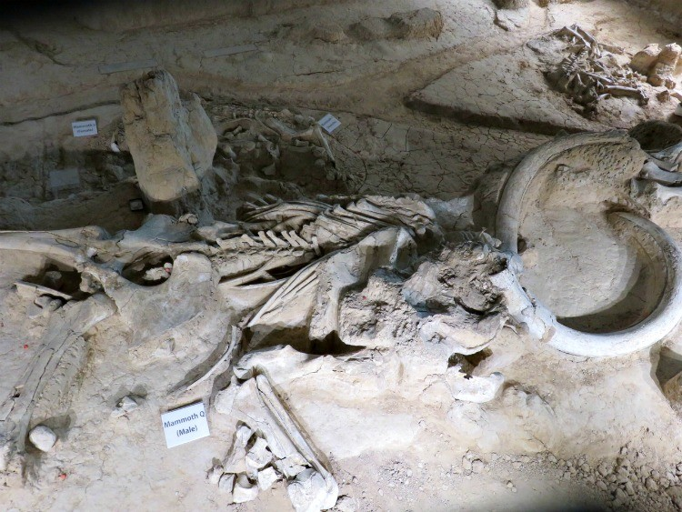 Check out Waco Mammoth National Monument, one of the many fun things to do in Waco.