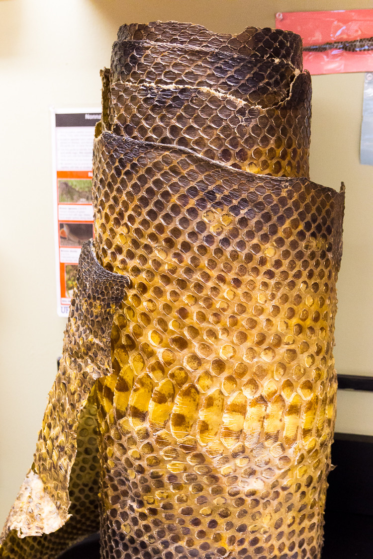 A large snake skin at the marine science center on Ponce Inlet