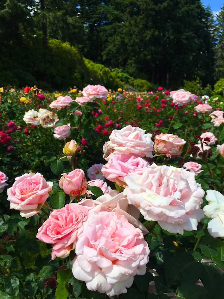 Take a Oregon Family Road Trip to Portland and visit the Portland International Rose Test Garden.
