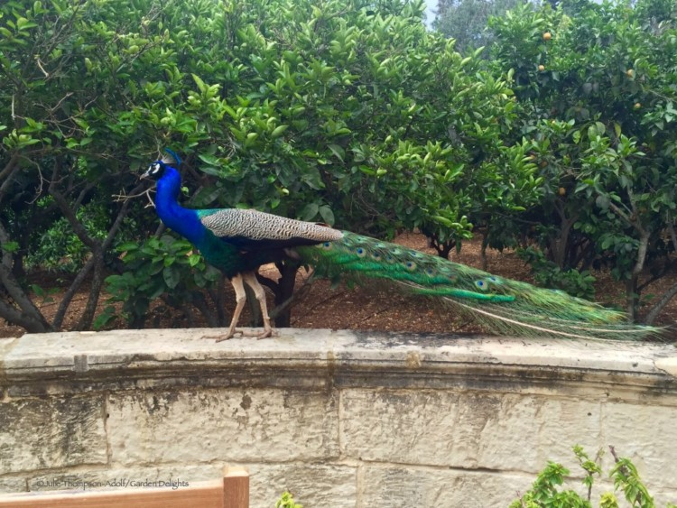 San Anton Garden peacocks are one of the things to see in Malta.