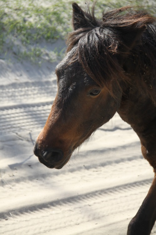 See stunning mustangs during a family adventure in North Carolina on a Wild Horse Tour.