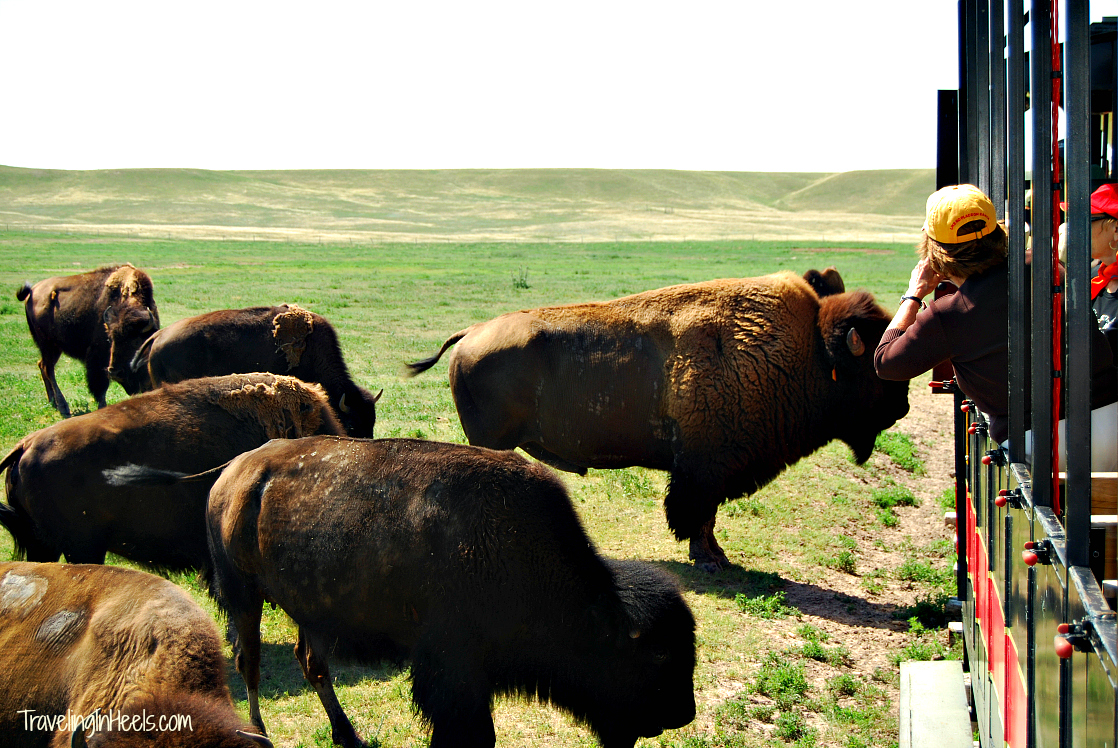 Visit to Terry Bison Ranch, 1 of 8 things to do with kids in Cheyenne, Wyoming.