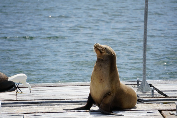 Kids love seeing the sea lions on the SEAL tour, one of many thigns to do in San Diego.
