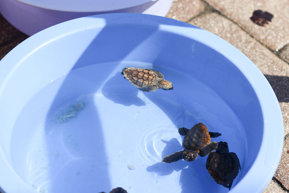Hatchings are left at the Loggerhead Marine Life Center almost every morning during nesting season in Juno Beach, FL.