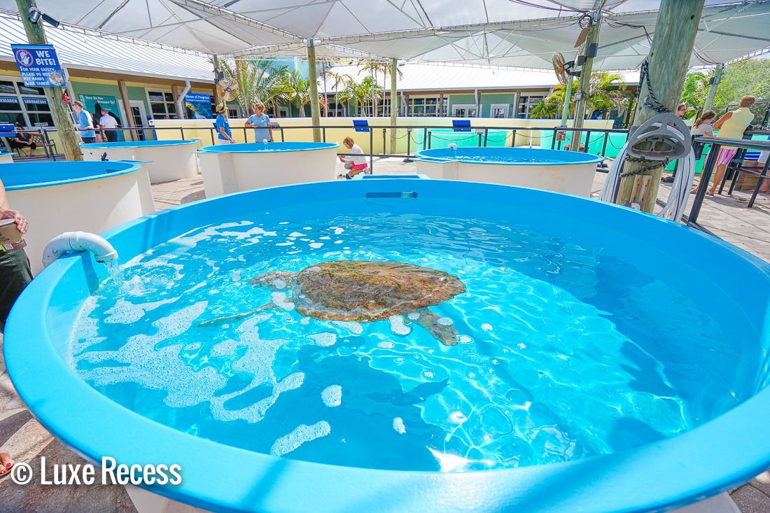 The Loggerhead Marine Life Center is a turtle hospital and educational center and a definite must on the list of Things to Do In Palm Beach With Kids
