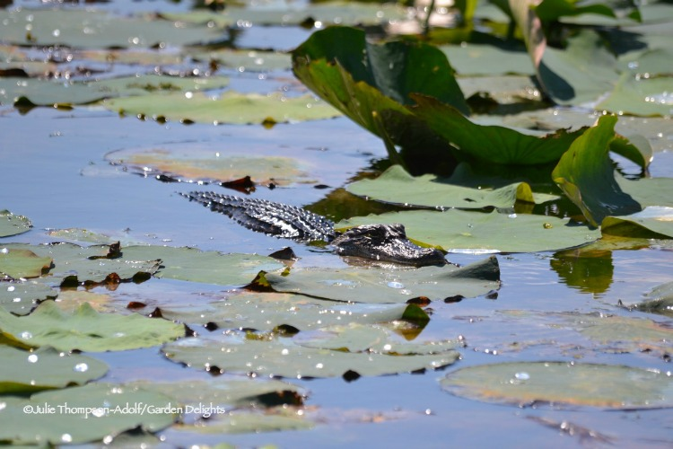 Things to do in Lake Charles, Louisiana, include alligator spotting.
