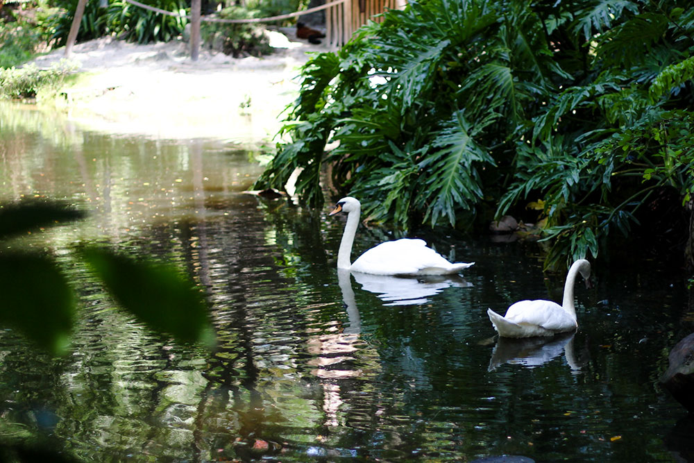 Beautiful birds like these swans are all over the Palm Beach Zoo.