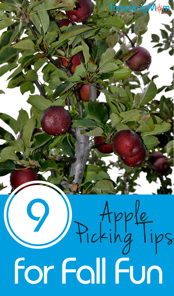 Apple picking tips will help you enjoy your family outing while finding the perfect fruit for your culinary needs.