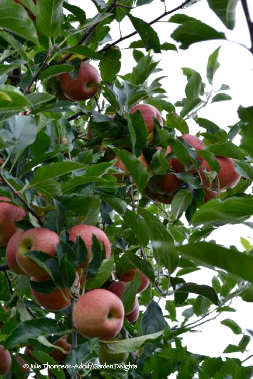Apple picking tips help to determine which apples are ripe and ready to harvest.