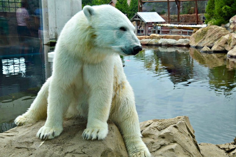 Seeing polar bears at the Louisville Zoo should definitely be on your 2 day itinerary for Louisville, Kentucky.