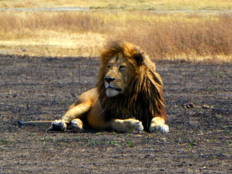 Lion in the Ngorongoro Crater - African safari planning tips