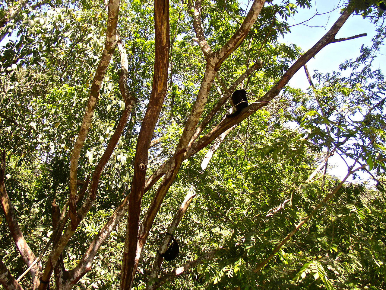 Capuchin Monkeys seen on a family vacation in costa rica