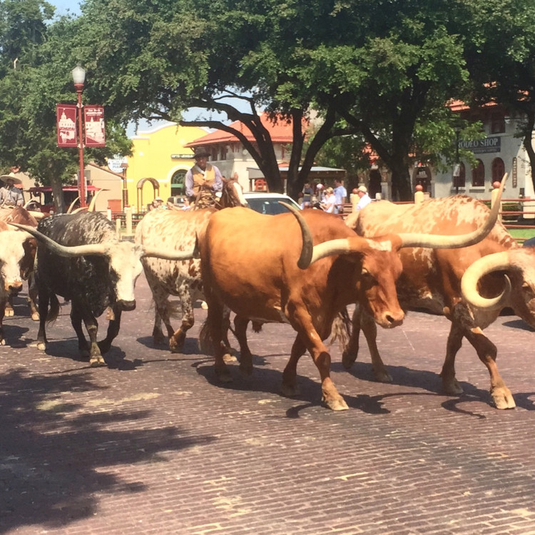 Longhorn cattle may be taking an off the beaten path Spring Break vacation as well!