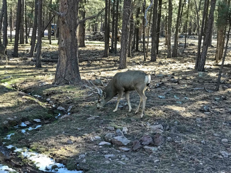 Tips for visiting Bearizona and seeing Deer and elk walk past your car
